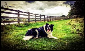 border-collie-dog-trailers