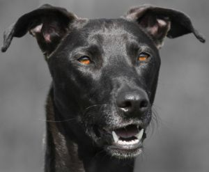 greyhound-dogs-transport-trailers